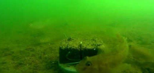 Подводная съемка макушатника видео