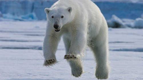 Медведь гонится за женщиной видео