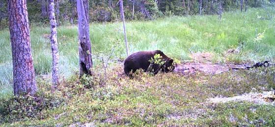 Медведь-подранок видео
