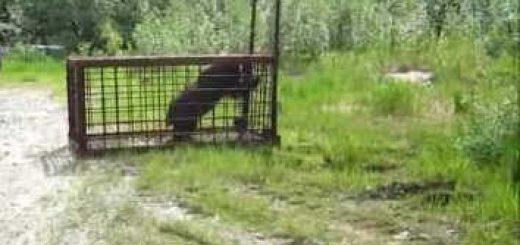 Медведь попал в ловушку видео