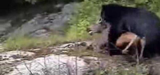 Медведь поймал лосенка видео