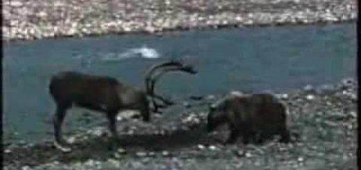 Медведь против оленя видео