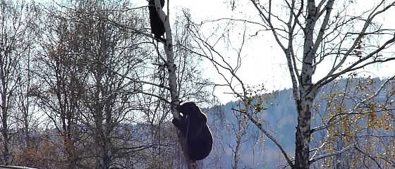 Медведь залез на дерево к охотникам видео
