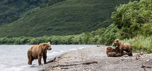 Медведица с медвежатами на реке видео