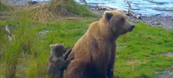 Медведица с медвежонком видео