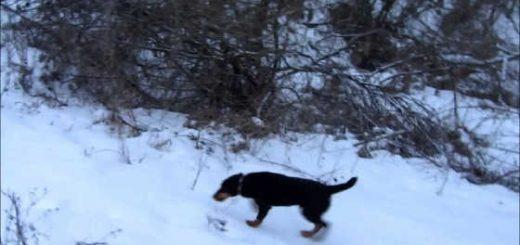 Охота на лису с ягдтерьером видео