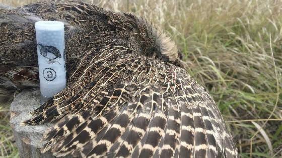 Охота на серую куропатку видео