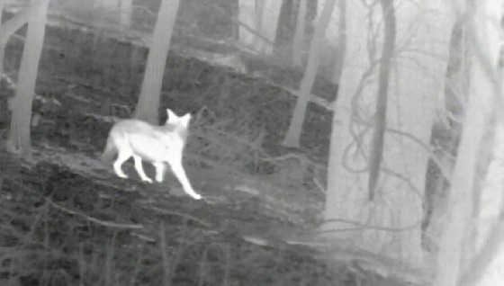 Охота с тепловизором на койотов видео