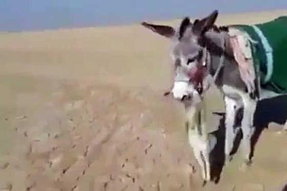 Осел поймал лису видео