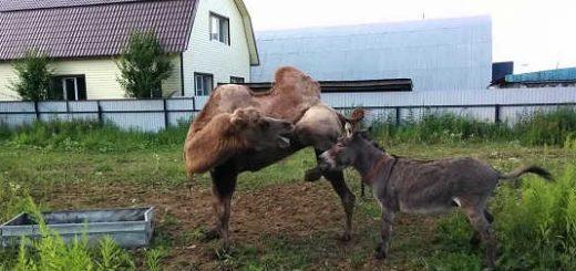 Осел и верблюд видео