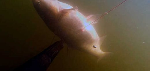 Классическая подводная охота на толстолобика видео