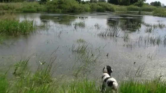 Работа спаниелей и легавых по фазану и утке в Харьковской области видео