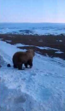 Медведь на Чукотке вышел к палаткам видео