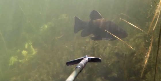 Тактика подводной охоты в залежке видео