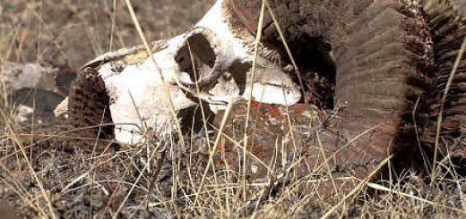 Волки нападают на козерогов видео