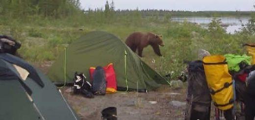 Встреча с медведем на оз. Ингозеро видео