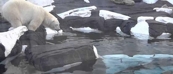 Белый медведь на крутом обрыве видео
