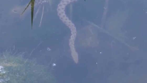 Гадюка нападает под водой видео