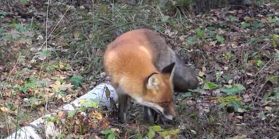 Лиса в лесу видео