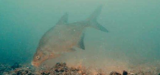 Ловля леща осенью: подводная съемка