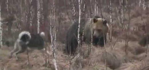 Медведь против собаки видео