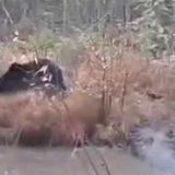 Медведь задрал лося видео