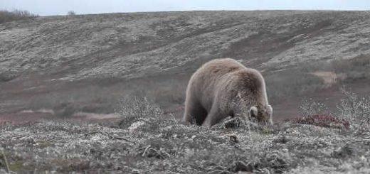 Нападение медведя на Аляске видео