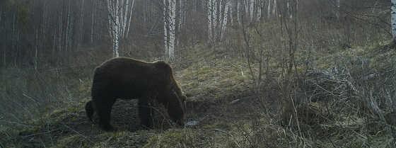 Нападение медведя на охотников видео