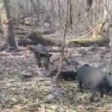 Охота на кабанов в Венгрии видео