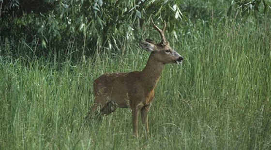 Охота на косулю в июле видео