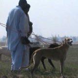 Охота с собаками в Пакистане видео