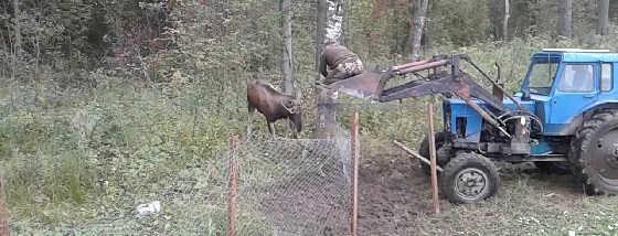 Спасли лося запутавшегося в сетке видео