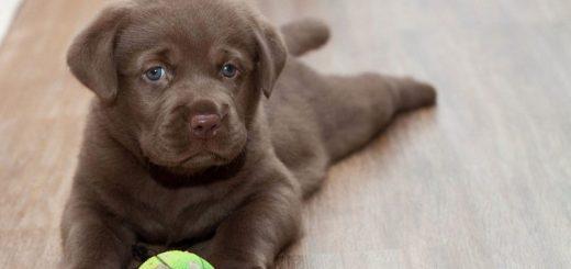 Как воспитывать щенка в доме