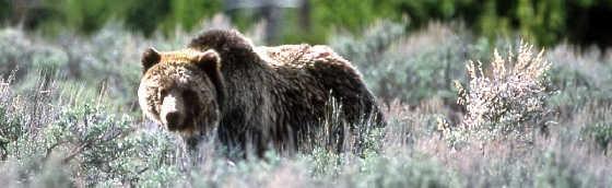 Медведь атакует видео