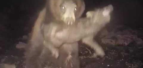 Медведь охотится на кабанов