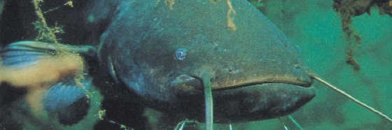 Поклевка сома на нарезку рыбы