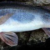 Рыбалка на судака в корягах
