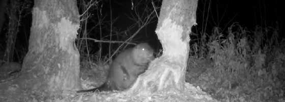 Бобер валит дерево ночью