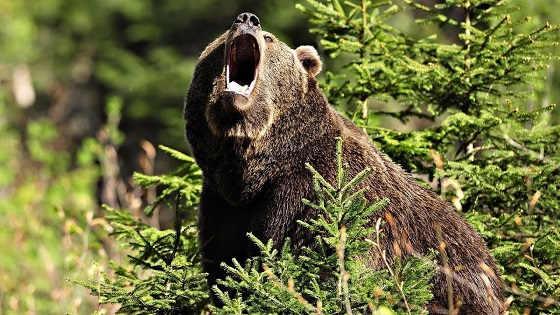 Медведь перед нападением
