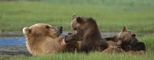 Медведица потеряла медвежонка