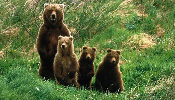 Медведица с тремя медвежатами