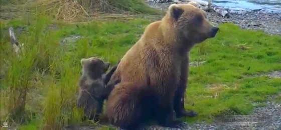 Медведица защищает детёныша