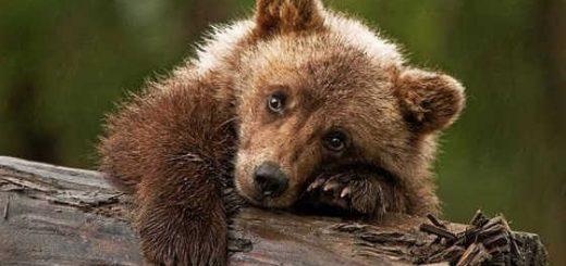 Медвежонок сладкоежка