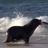 Морской лев охотится на пингвина