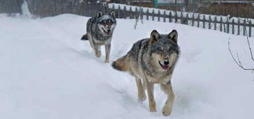 Наблюдение за дикими волками в деревне