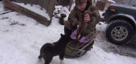 Обучение щенка лайки