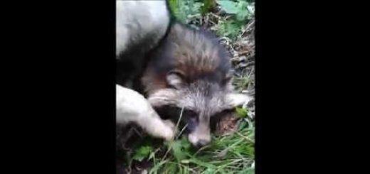 Охота на енота с лайкой