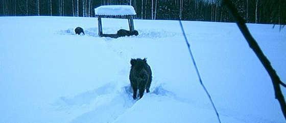 Охота на кабана в Кировской области