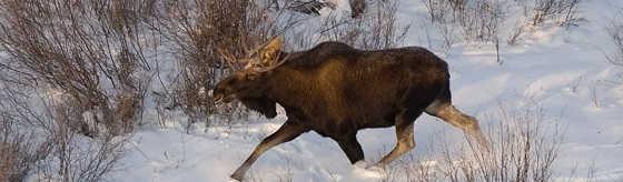 Охота на лося зимой 2017
