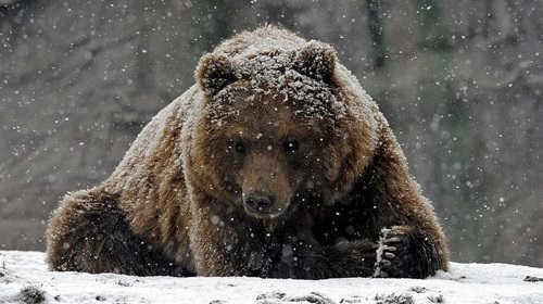 Охота на медведя по первому снегу